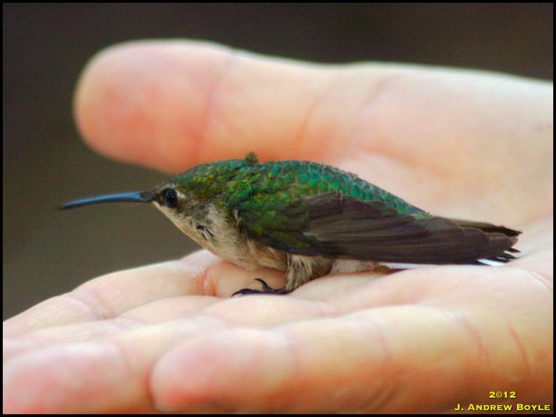 Ruby throated hummingbird baby - photo#8