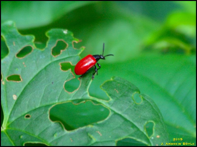 Air Potato Beetle