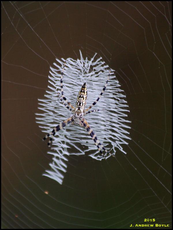 Silver Argiope