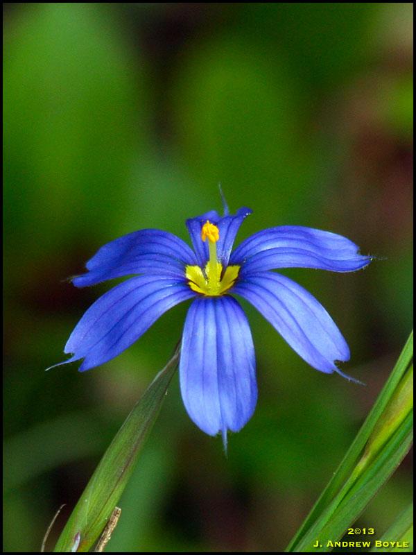 Blue Eyed Grass Drawing Narrowleaf Blue-eyed Grass