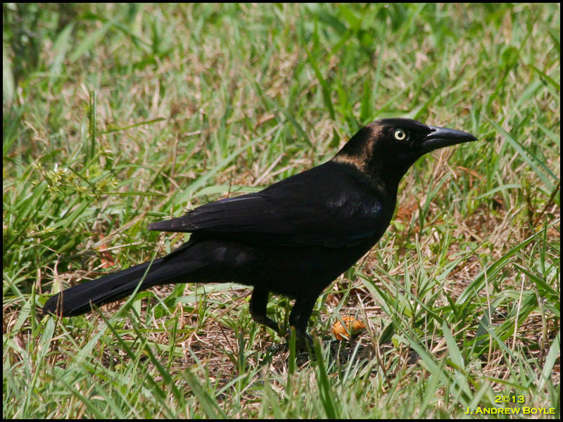 saw a few more Common Grackles along the edge of the shrubs and
