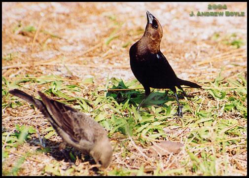 Brown-headed Cowbird