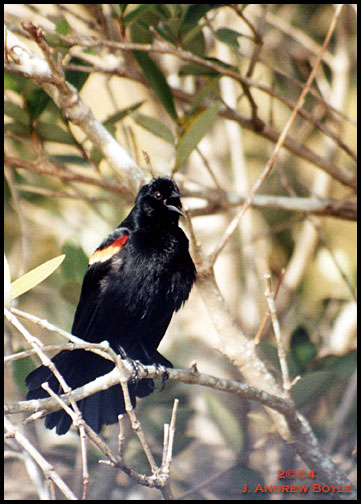 Redwinged Blackbird