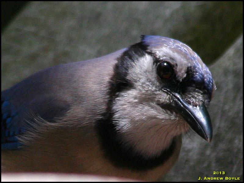 Baby Blue Jay Bird Blue Jay
