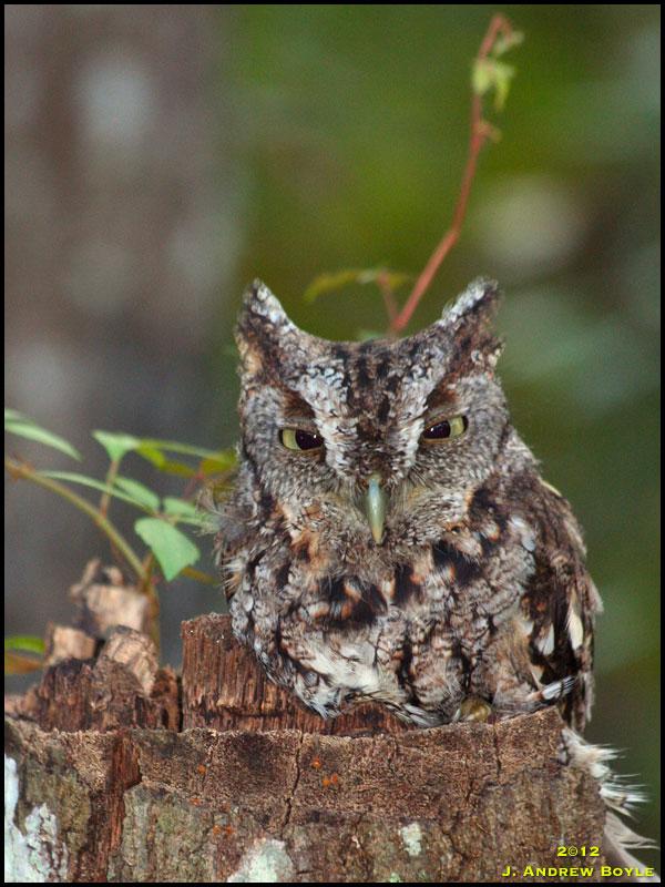 Eastern screech owl flying