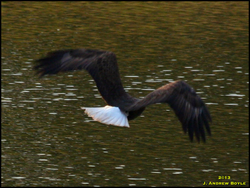 Bald Eagle Eating Duck Bald Eagle Warning Graphic Vulture Eating i Did my Usual Rounds The Rest