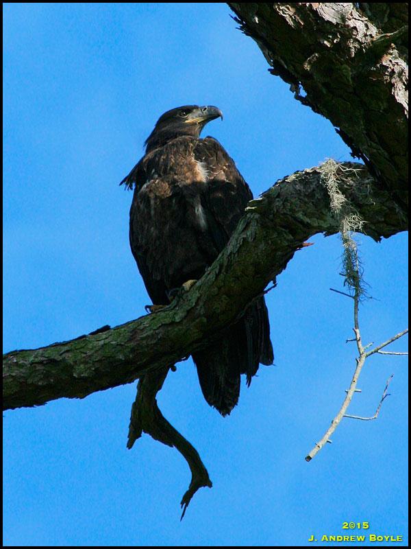 Drew\'s Birds: Greenwood Eagle Update