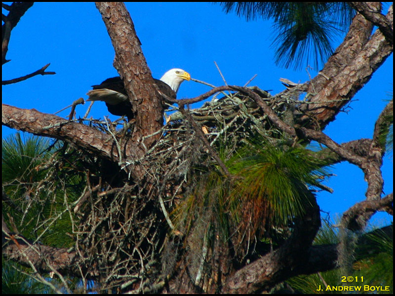 Drew\'s Birds: Bald Eagles on the Nest