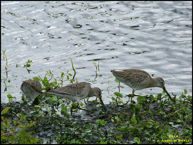 Dowitchers