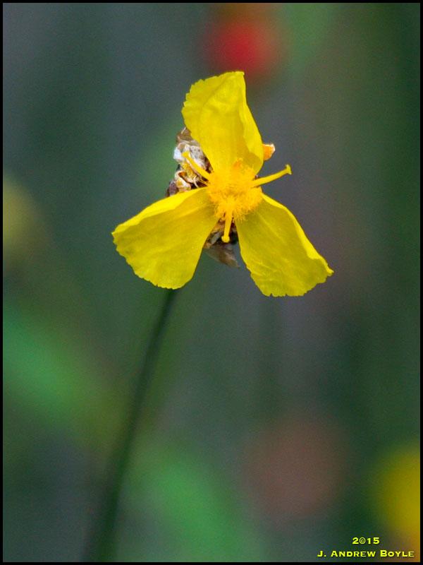 Yellow-eyed Grass
